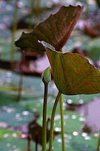 荷花苞与荷叶