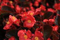 红色小花背景素材摄影图片