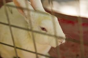 笼子里的小白兔