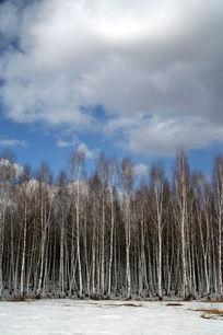 白桦林生长的地方