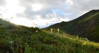 高山草甸上盛开的野花