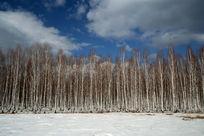 一片白桦林