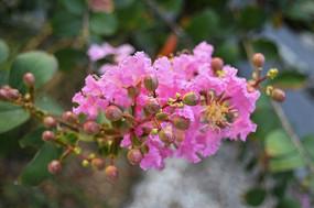 圆润的紫薇花蕾