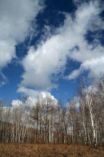 自然风光 白桦林