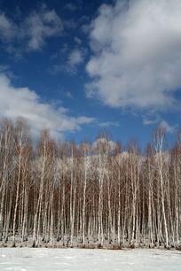 自然风景 白桦林