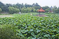 青岛中山公园荷塘风景