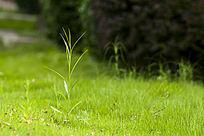 草地上的小草