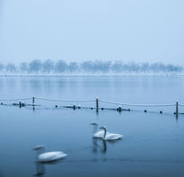 杭州西湖里的天鹅