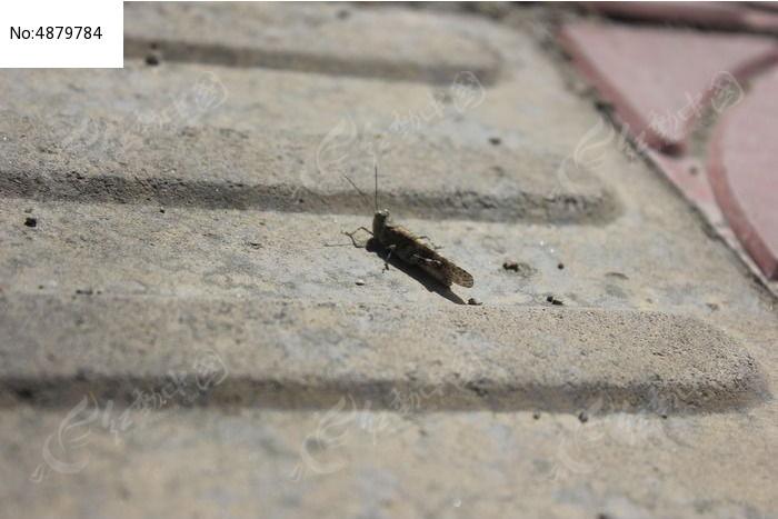 灰色的蚂蚱图片图片