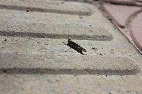 灰色的蚂蚱图片