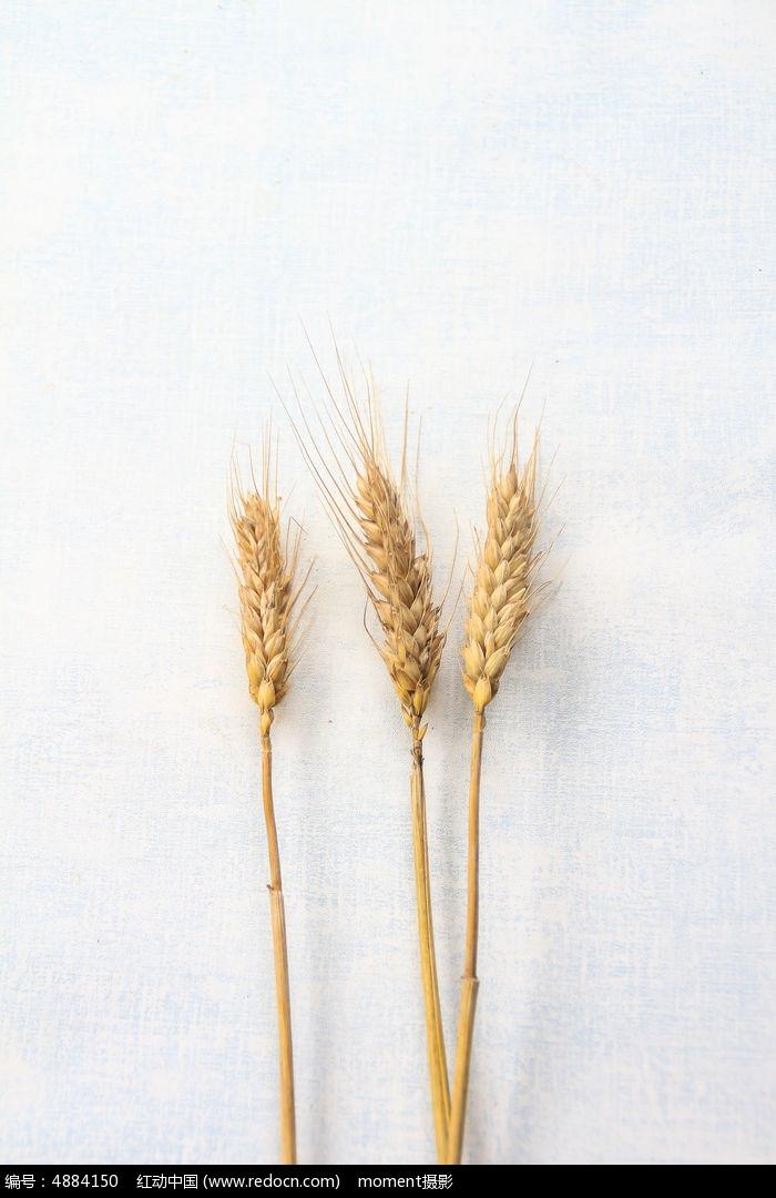 几只麦穗图片