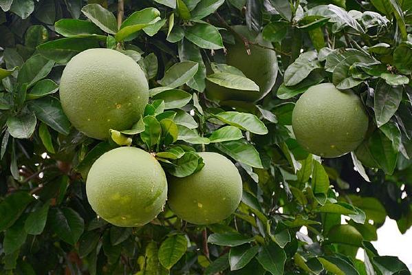 秋天的柚子
