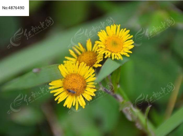 三朵野黄菊花图片
