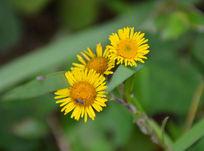 三朵野黄菊花
