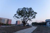 小路和大树剪影