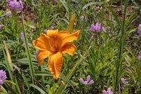 阳光下鲜艳的橙色野花