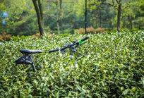 茶园里的自行车