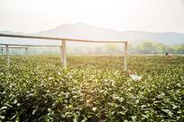 杭州龙井茶园风光