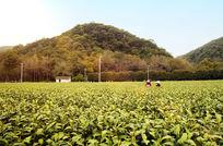 杭州梅家坞茶园