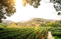 杭州西湖龙井茶园
