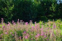 林间野花盛开