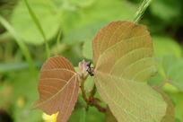 树叶上的黑蚂蚁