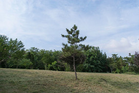 修剪草地上的一棵松树