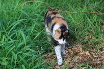 草丛中的花猫