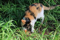 草丛中的黄黑猫咪嘴叼小鱼