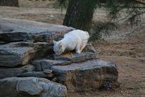 大白猫咪吃猫食