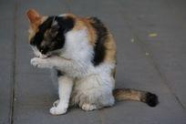 大花猫洗脸舔爪