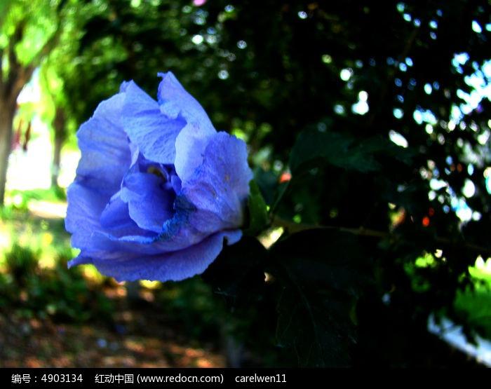 淡紫色木槿花图片