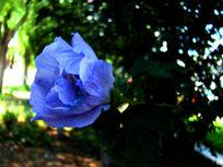 淡紫色木槿花