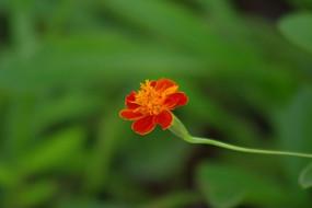 红色臭菊侧影