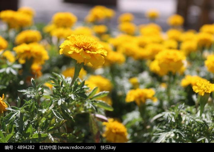 黄菊花从图片