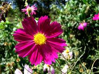 黄心暗紫色大波斯菊