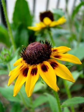 可爱小巧的金光黑心菊