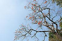 蓝天下的柿子树果实累累