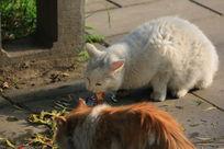 两只猫咪一块儿吃鱼