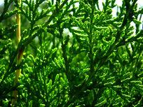 绿油油的松柏枝