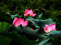 三朵粉荷花