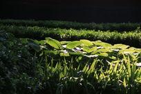 阳光下绿油油的植物