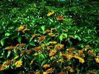 一簇小黄菊花