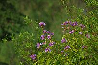 竹林中盛开的紫薇花