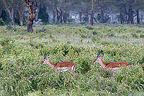 草丛中的羚羊