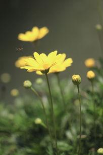 公园漂亮的黄色小雏菊