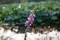 荷塘边的一颗小红花
