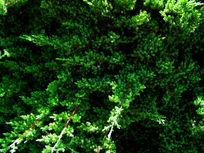 绿油油的松柏树