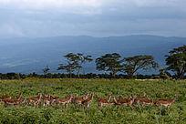 一群羚羊在享受青山绿草