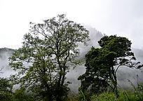 山间的古树
